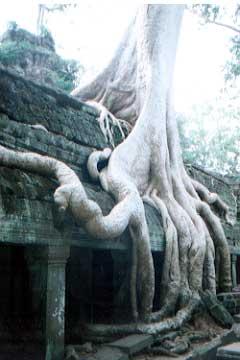 タ・プãƒãƒ¼ãƒå¯ºé™¢ã€'巨木が遺跡を圧するさまは、日本人の感性に響く。