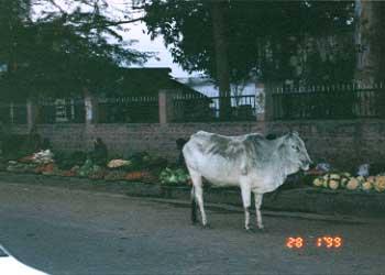 kha_cow.jpg